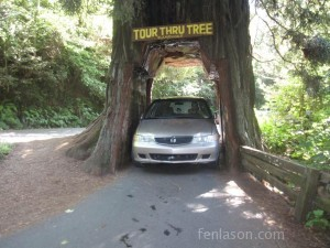 Driving through the redwood tree