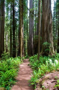 Boyscout Trail - Jedediah Smith Redwood State Park