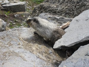 Marmot on Highline Trail - Glacier National Park