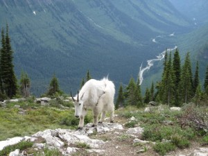 Mountain Goat on Highline Hike