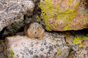 A Pika on the trail