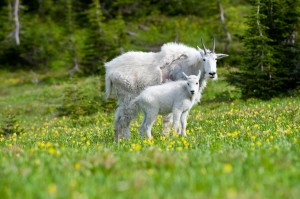Mountain Goats - Glacier National Park