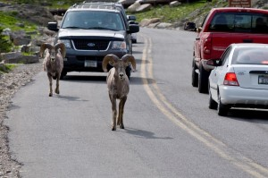 Big Horn Sheep on the street
