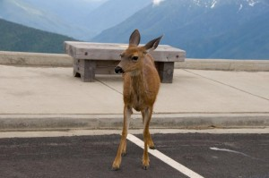 Friendly deer in the visitor's center parking lot