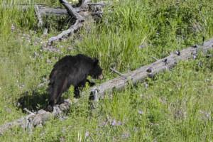 black bear-a-a