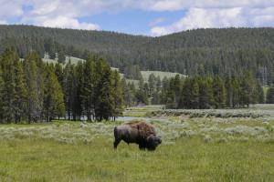 buffalo-a